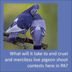 pigeonshoots