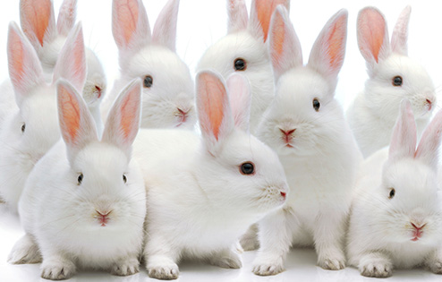 Several white rabbits.  Keywords: stock, rabbits, animal testing