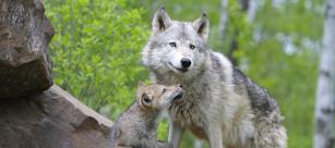 wolf_cub_652x290