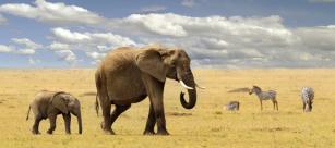 Mother-And-Baby-Elephant-Mit-Zebras-652x290