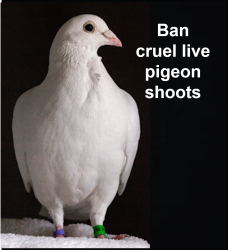 proflile pigeon.png